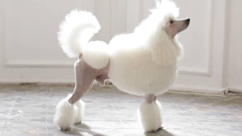 Priprema psa za izložbu