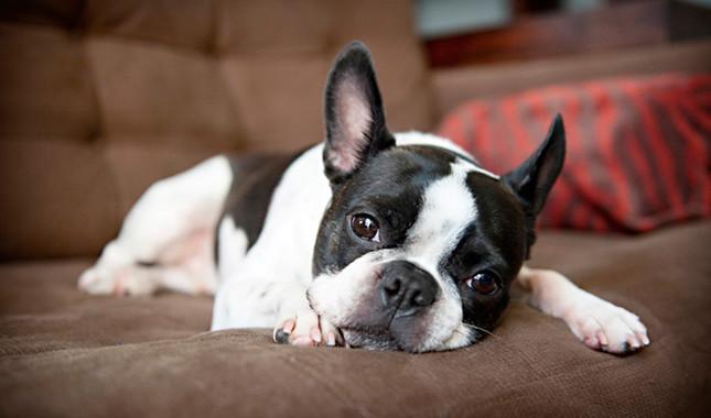 Psi za stan! Mali, ne linjaju se i nemaju neprijatan miris.